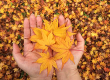 Women hands with yellow maple leaves Royalty Free Stock Photo