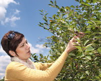 Women harvested fruit. Young women is picking chokeberry in the field Royalty Free Stock Photo