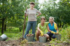 Women harvested potatoes Stock Photo