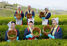 Women harvesting green tea leaves Stock Photography