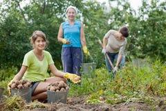 Women harvesting potatoes Stock Images
