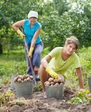 Women harvesting potatoes Stock Photo