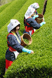 Women harvesting tea leaves Royalty Free Stock Image