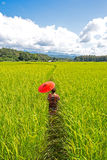 Women holding a yellow umbrella walk in the green rice field. Background under Blue Sky. Mae Hongson Thailand Royalty Free Stock Images