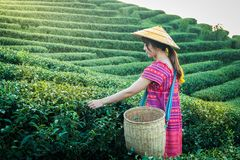 Women in local hill tribe holding young green tea leaves on hill in the evening with sunset ray at Doi Mae Salong Mae Fah Luang Ch royalty free stock image