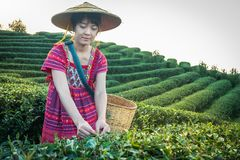 Women in local hill tribe holding young green tea leaves on hill in the evening with sunset ray at Doi Mae Salong Mae Fah Luang Ch royalty free stock images