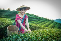 Women in local hill tribe holding young green tea leaves on hill in the evening with sunset ray at Doi Mae Salong Mae Fah Luang Ch royalty free stock photography