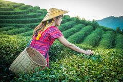 Women in local hill tribe holding young green tea leaves on hill in the evening with sunset ray at Doi Mae Salong Mae Fah Luang Ch stock photography