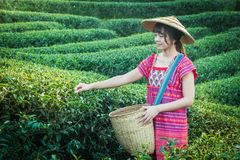 Woman hands holding young green tea leaves on hill in the morning with sunrise ray stock images