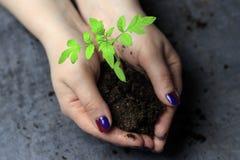 Women& x27; mãos de s Pregos pintados mantenha um punhado da terra nele brotam Este é um tomate fotos de stock royalty free