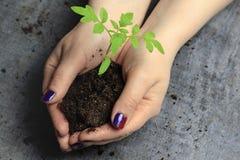 Women& x27 ; mains de s Clous peints maintenez une poignée de la terre dans elle poussent C'est une tomate image stock