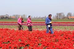 Women and a man at work in the tulip fields, Noordoostpolder, Flevoland, Netherlands Stock Image