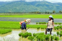 Women manual labour in the Philippine rice fields Royalty Free Stock Photo