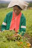 Women of the Palong ethnic group harvesting chilli peppers in the fields. Royalty Free Stock Photos