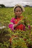 Women of the Palong ethnic group harvesting chilli peppers in the fields. Royalty Free Stock Photo