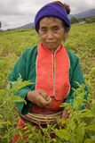 Women of the Palong ethnic group harvesting chilli peppers in the fields. Stock Photography