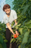 Women picked tomatoes Royalty Free Stock Image