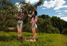 Women picking apples Royalty Free Stock Photo