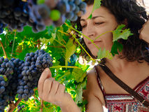 Women picking bunch of grapes.  Royalty Free Stock Photos