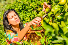 Women picking fruits from a tree. Women picking clementines from her garden royalty free stock photos