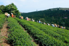Women picking tea on the field Royalty Free Stock Photo