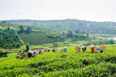 Women picking tea on the field Stock Photos