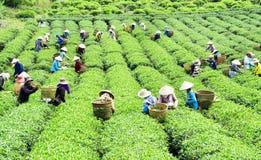 Women picking tea on the field Royalty Free Stock Photos
