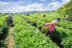 Women picking tea Stock Photography