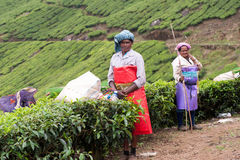 Women picking the tea at tea plantation around Munnar Royalty Free Stock Images