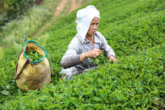 Women picks tea in garden Stock Photos