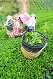 Women picks tea in garden Royalty Free Stock Images