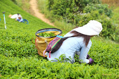 Women picks tea in garden Royalty Free Stock Photo
