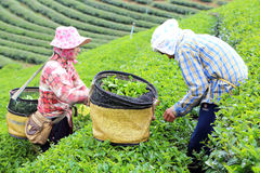 Women picks tea in garden Royalty Free Stock Photography