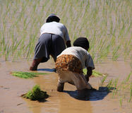 Women planting rice Royalty Free Stock Images