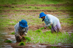 Women planting rice sprouts Stock Photo