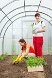 Women planting  seedlings in greenhouse Royalty Free Stock Images