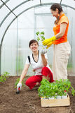 Women planting  spouts in greenhouse Royalty Free Stock Image