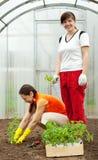 Women planting tomato seedlings Royalty Free Stock Images