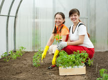 Women planting tomato spouts Royalty Free Stock Photography