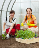 Women planting tomato spouts Royalty Free Stock Photo