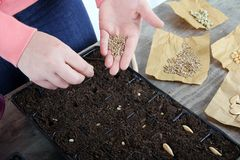 Women planting vegetable seeds close up. Close up of woman hands holding little spinach seeds ready for planting Stock Photography