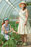 Women prongs tomato plant Stock Image