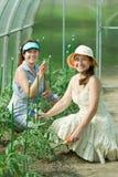 Women prongs tomato plant Stock Photo
