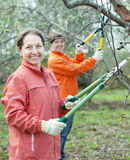 Women pruning apple tree in  orchard Stock Photo