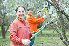 Women pruning  tree in  orchard Royalty Free Stock Images
