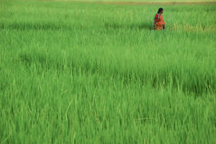 A women in a rice field, Andaman Islands Stock Images