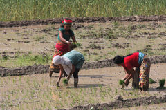 Women in the ricefields Royalty Free Stock Photography