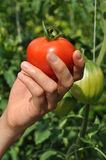 Women's arm holding red tomato Stock Image