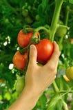 Women's arm holding red tomato Stock Photos