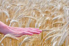 Women's hand over wheat field. A woman's hand is passing over a wheat field on a farm in the summer Royalty Free Stock Photos
